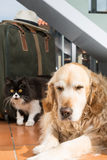 Golden Retriever and Persian cat books Royalty Free Stock Image