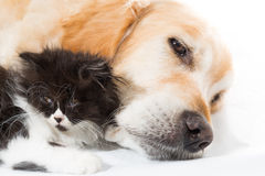 Golden Retriever with a Persian cat Stock Image