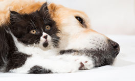Golden Retriever with a Persian cat Stock Images
