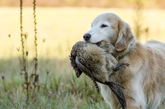 Golden Retriever with Pheasant stock images