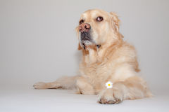 Golden Retriever in the photo studio. Golden Retriever makes big eyes in the photo studio Royalty Free Stock Photography