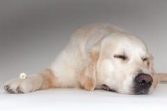 Golden Retriever in the photo studio. Golden Retriever is sleeping in the photo studio Stock Photos