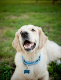 Golden retriever (piccolo Dof) Fotografia Stock