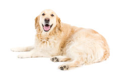 Golden Retriever. Picture of a happy golden retriever laying on a white background looking at the camera royalty free stock image