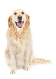 Golden Retriever. Picture of a happy golden retriever sitting on a white background looking at the camera Stock Image