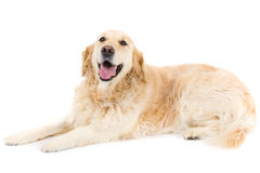 Golden Retriever. Picture of a happy golden retriever sitting on a white background looking at the camera Stock Images