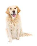 Golden Retriever. Picture of a happy golden retriever sitting on a white background looking at the camera royalty free stock photography