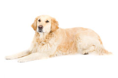 Golden Retriever. Picture of a happy golden retriever sitting on a white background looking at the camera stock photo