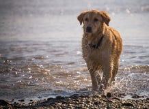 Golden Retriever pies cieszy się na plaży Fotografia Royalty Free