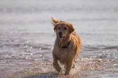 Golden Retriever pies cieszy się na plaży Obrazy Royalty Free