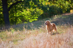 Golden Retriever pies na lato gazonie w lesie Fotografia Stock