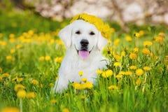 Golden retriever pies w dandelions polu Obrazy Royalty Free