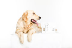 Golden retriever pies z papieru domu modelem Obrazy Royalty Free