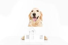 Golden retriever pies z papieru domu modelem Zdjęcia Stock