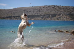 Golden retriever play in sea. With ball Stock Images