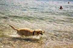Golden retriever playing in lake Stock Photos