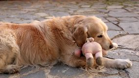 Golden Retriever playing outdoors stock video footage