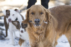 Golden Retriever playing outside in cold winter snow. royalty free stock photography