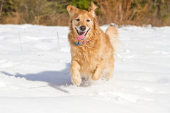 Golden Retriever. This golden is playing the snow Royalty Free Stock Photo