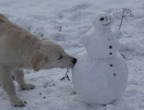 Golden retriever are playing with a snowman Royalty Free Stock Photography