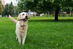Golden retriever playing with a stick Stock Photography