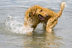 Golden retriever playing in water. This is a golden retriever playing in water Royalty Free Stock Photography