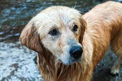 Golden retriever dog is loving water and enjoys in it Stock Photos