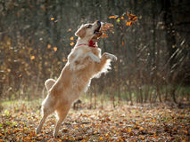 Golden retriever plays Royalty Free Stock Photos