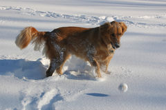Golden Retriever Plays In Snow stock photo