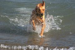Golden Retriever Plays In Water. Golden Retriever plays with ball in Lake Stock Photography