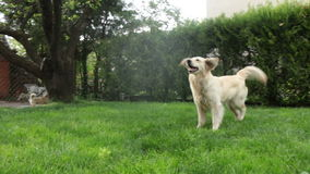 Golden Retriever plays with the water stock footage