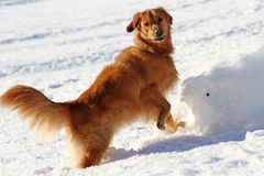 Golden Retriever plays in winter in the snow Royalty Free Stock Photography