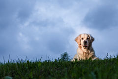 Golden Retriever Plenerowy portret obrazy stock