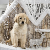 Golden Retriever poopies Royalty Free Stock Photos