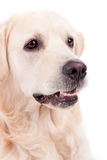 Golden Retriever Portrait Royalty Free Stock Photos