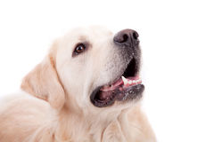Golden Retriever Portrait Stock Images