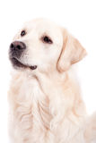 Golden Retriever Portrait Royalty Free Stock Image