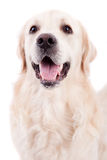 Golden Retriever Portrait Royalty Free Stock Images
