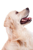 Golden Retriever Portrait Stock Image