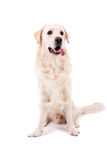 Golden Retriever Portrait Stock Photos