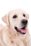 Golden Retriever Portrait Royalty Free Stock Photo
