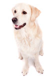 Golden Retriever Portrait Stock Photography