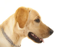 Golden Retriever Portrait Stock Photo