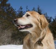 Golden Retriever Portrait. Happy Golden Retriever in the park on a sunny day Stock Image