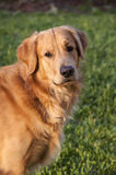 Golden Retriever. A portrait of a Golden Retriever royalty free stock photography