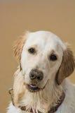 Golden retriever portrait Stock Photos