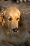 Golden retriever. Portrait of beautiful golden retriever Royalty Free Stock Photos