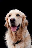 Golden retriever portrait Royalty Free Stock Photography