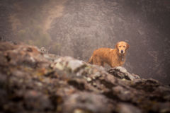Golden retriever portrait in the foggy mountain Stock Photo