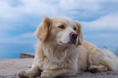 Golden Retriever portrait. Golden Retriever lying on a rocky wall Royalty Free Stock Images